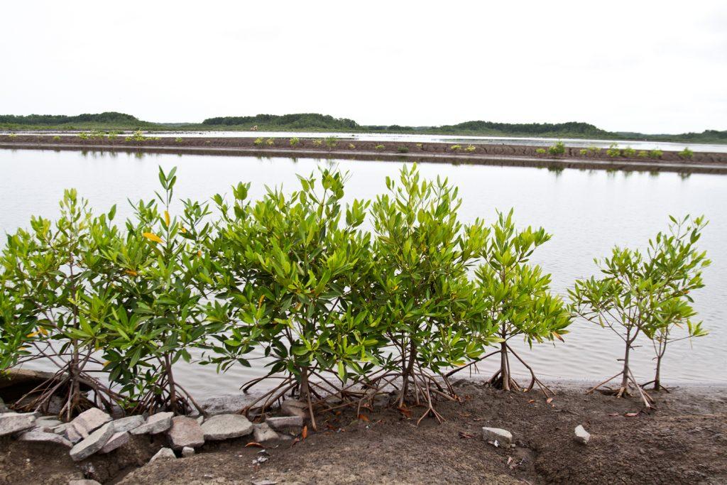 Grupo Sahlman promueve la conservación de manglar y plantaciones forestales.